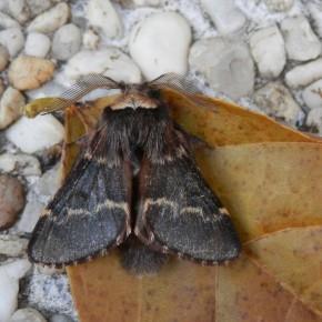 Un joli mâle avec sa touffe de poil à l'extrémité de l'abdomen.