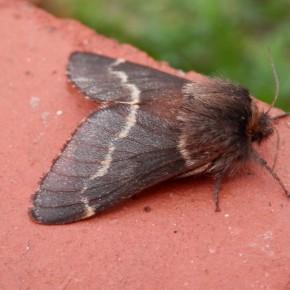 La femelle avec ses antennes très fines.