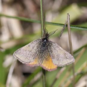 L'Ensanglantée de l'oseille, mâle f. vernalis.