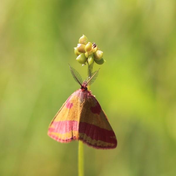L'Ensanglantée de l'oseille, mâle f. aestivalis.