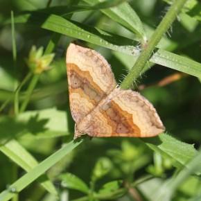 Papillon de nuit. Geometridae : Larentiinae.