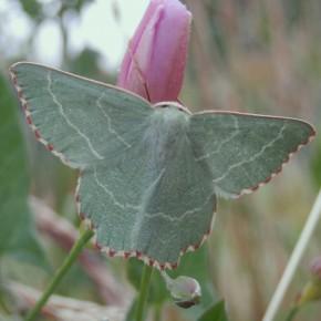 La Phalène du Buplévre, femelle.