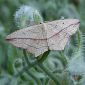 Papillon de nuit. Geometridae : Sterrhinae.