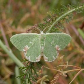 Papillon de nuit. Geometridae : Alsophilinae, Archiearinae, Geometrinae.